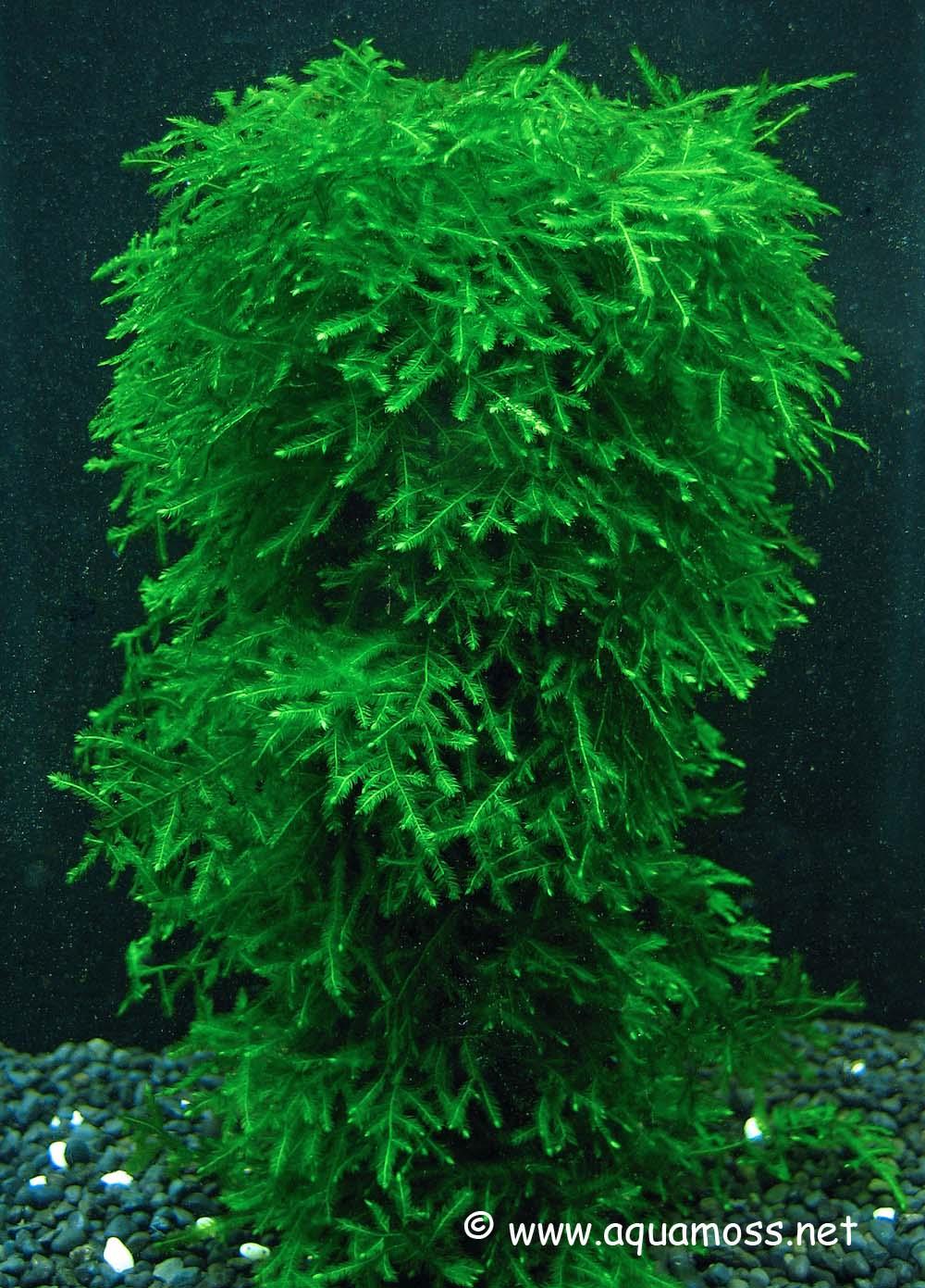 Aquatic Moss. How to grow Aquatic Moss. Info on Java Moss, Christmas Moss, Taiwan Moss, Peacock ...